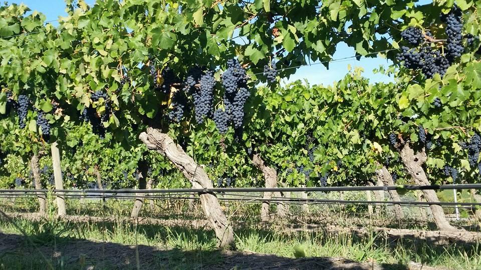 grapes in De Bortoli Yarra Valley Estate
