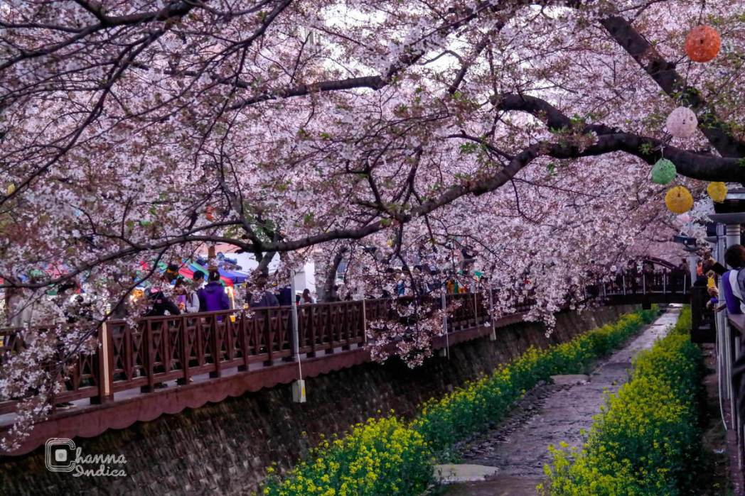 Jinhae Cherry Blossom Festival, South Korea