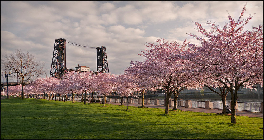 Sakura season in Portland USA