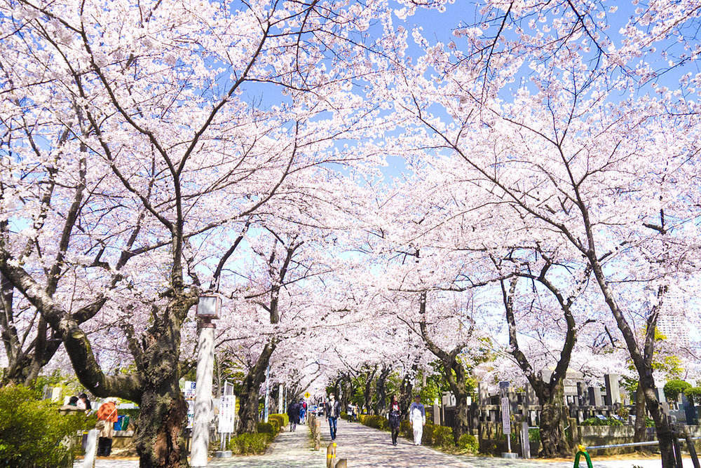 cherry blossom at Aoyama Cemetery